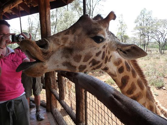 Kivi Milimani Hotel: Kissing Giraffes is great