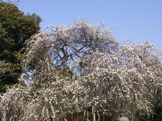 Hokaiji Temple: 梅の写真その2