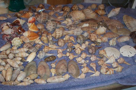 Cayo Costa State Park: our shell haul from cayo costa