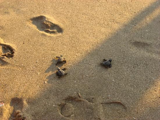 Torres Mazatlan Resort: Brown sea turtles,