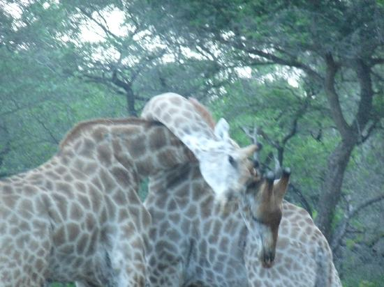 Kwa Madwala Private Game Reserve: giraffes fighting