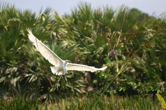 Wakodahatchee Wetlands: Great Egret in flight