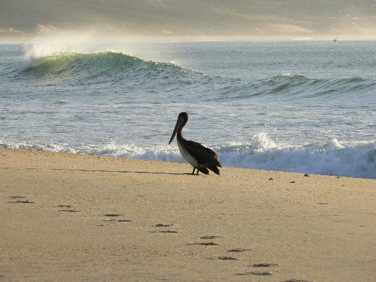 San Jose's Estuary and Bird Sanctuary: pelican