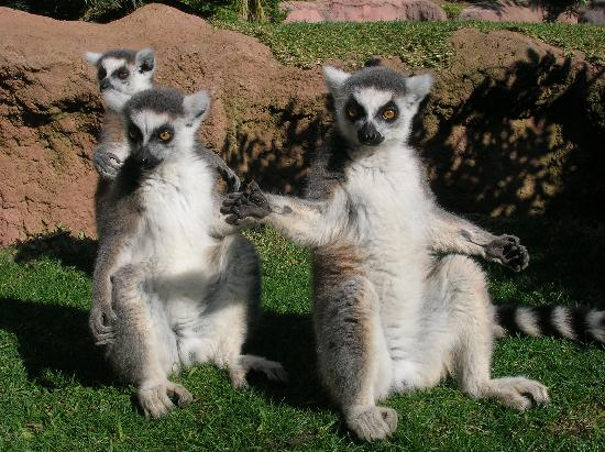 Las Rampas: Our favourite lemurs fuengirola zoo