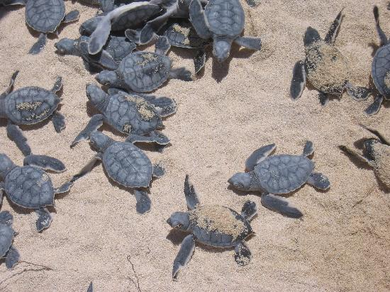 Ventanas al Mar: Baby turtles hatching and heading to the water.This was right next to the beach umbrellas,next t