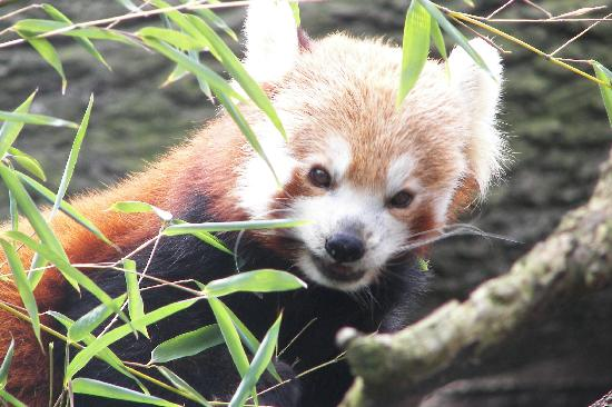 Red Panda - Bronx Zoo