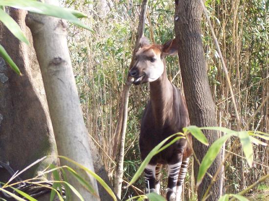 Okapi Congo Gorilla Forest Picture Of Bronx Zoo Bronx Tripadvisor