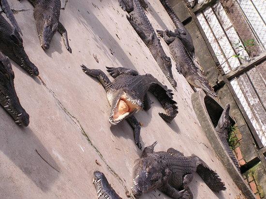 Crocodile Farm: Crocs.