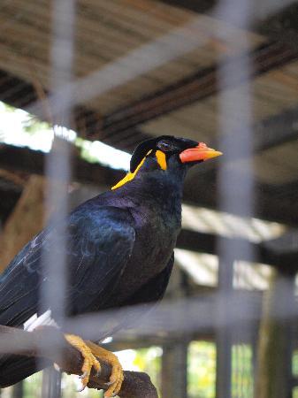 Miri, Malaysia: talking bird