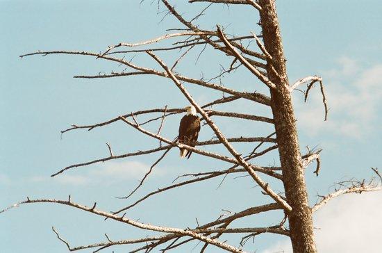 Γουέστ Γιέλοουστοουν, Μοντάνα: bald eagle Yellowstone