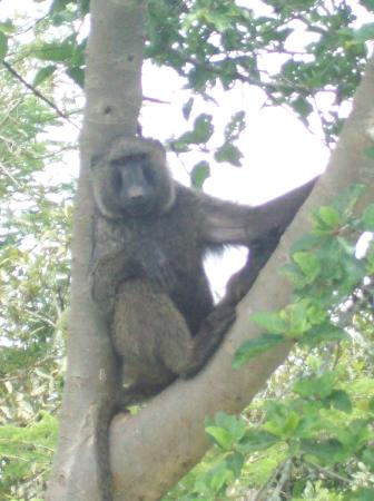 Ajai Game Reserve: Baboons are plentiful in the reserve