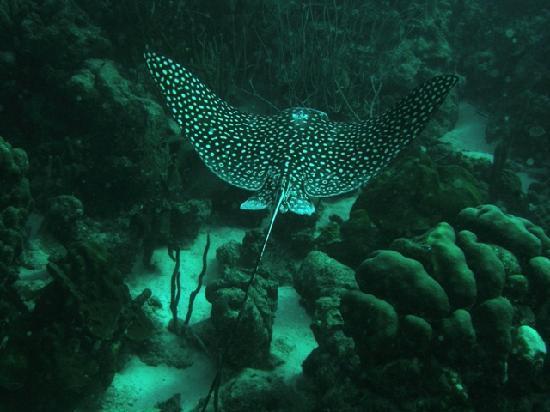 Kralendijk, Bonaire: Eagle ray