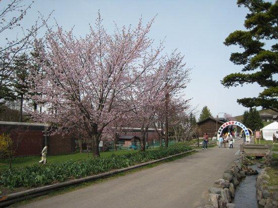 Abashiri, Giappone: 桜咲いてました
