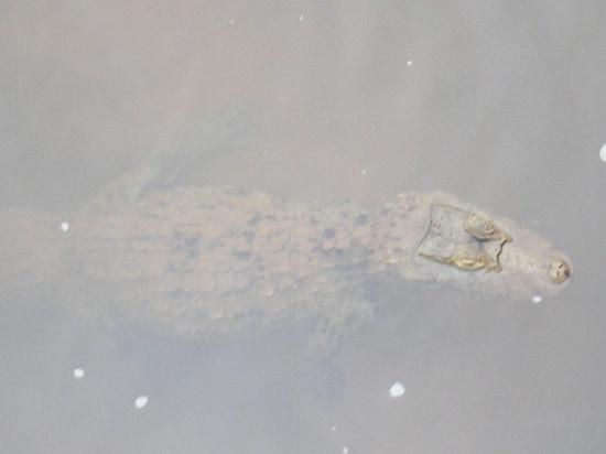 Puerto Iguazú, Argentina: caiman en la pasarela a la garganta del diablo