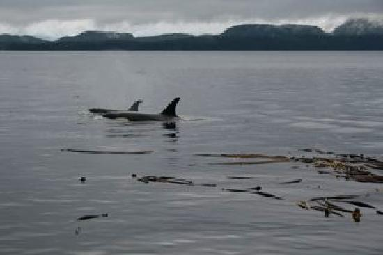 Telegraph Cove Resort: Orca spotting