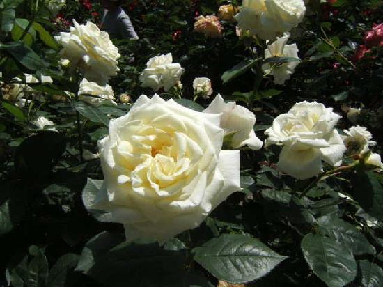 Ikuta Ryokuchi Rose Garden : 清楚な薔薇