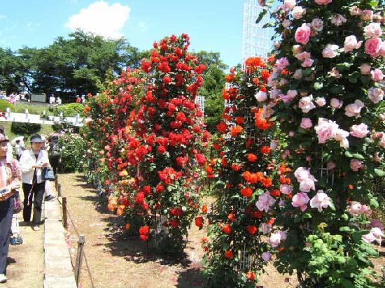 Ikuta Ryokuchi Rose Garden : 苑内