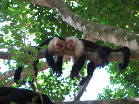 Cabo Matapalo, Costa Rica: sleepy monkeys