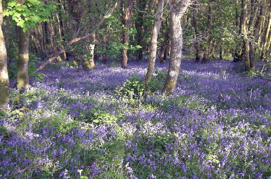 Coed Y Bryn, UK: Bluebells at Penbeili Mawr
