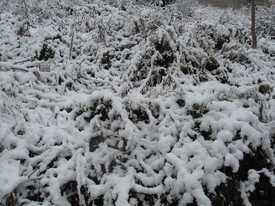 Shimla, India: SNOW LADEN grass
