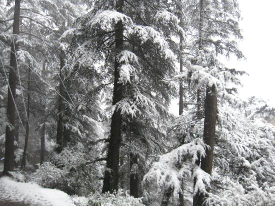 Shimla, Indien: snow laded trees
