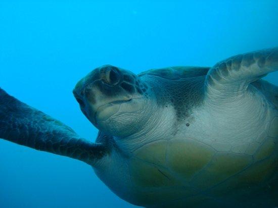 Blue Explorers Tenerife : tortue