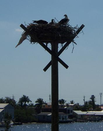 A-Bayview Bed and Breakfast: Resident Osprey family