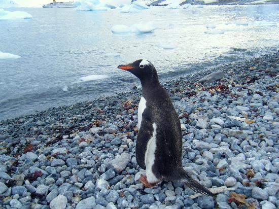 Ushuaia, Argentina: Gentoo watching for killer whales