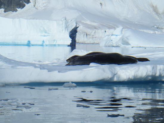 Ushuaia, Argentina: leopard seal