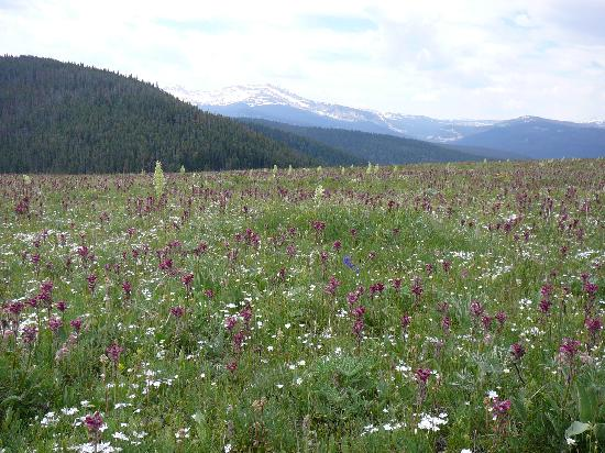 Elkhorn Ranch: Wildflowers on Hancock Meadows.  Sage Peak in background.