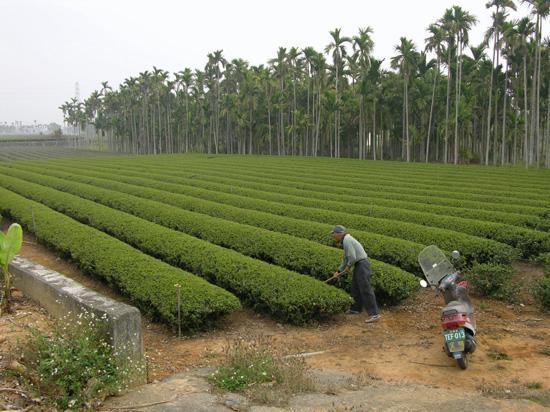 tea plantation sungpokeng ming jian nantou county picture of rh tripadvisor com