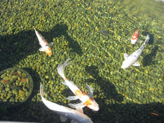 Koi pond look how clear the water is picture of for Koi pond media