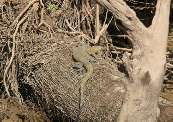 Bird Safari Camp: Monitor lizard
