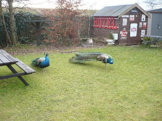 The Retreat Castle Rooms: Peacocks in garden