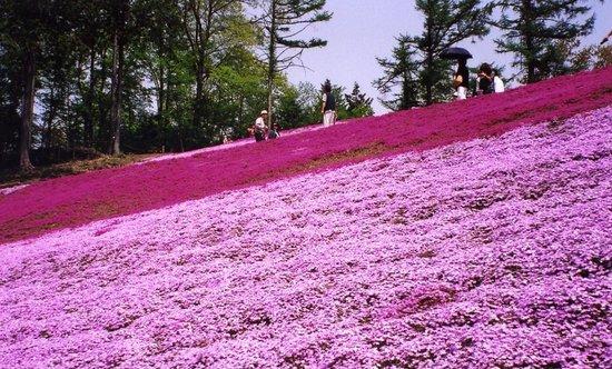 Takasaki, Japan: 芝桜のじゅうたん!