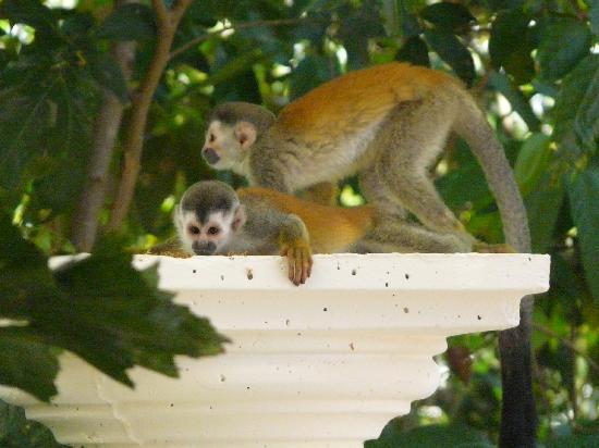 Parador Resort and Spa: mokeys on resort