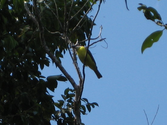 Puerto Morelos, México: Yellow hooded warbler?