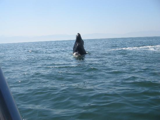 Sea Garden Nuevo Vallarta: Whale watching