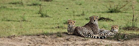 Sarova Mara Game Camp: Cheetas