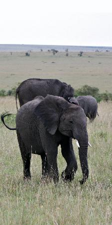 Sarova Mara Game Camp : Elephants - we saw them very close