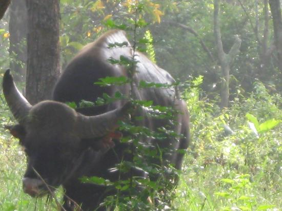 The Nest: Bison sighted while trekking