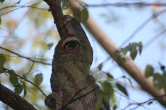 Parador Resort and Spa: Sloth on the nature trail