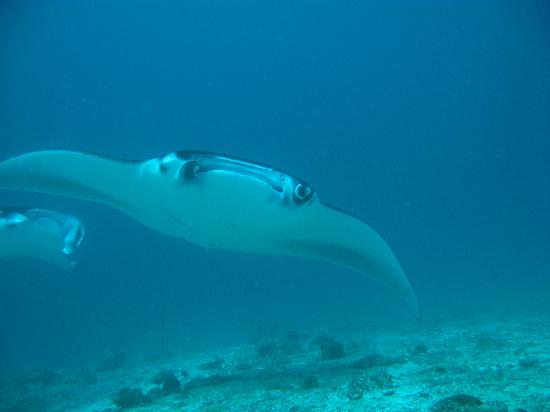 Ellaidhoo Maldives by Cinnamon: Beautiful Manta Rays