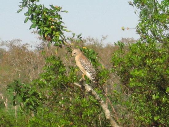 Arthur R. Marshall Loxahatchee National Wildlife Refuge: Hawk Sighted
