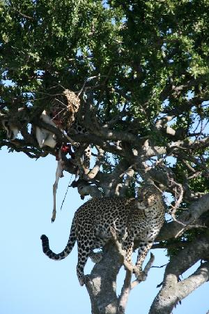 Ngerende Island Lodge: 2 leopards & thier kill up a tree