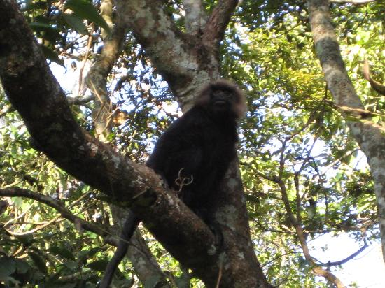 Periyar Wildlife Sanctuary: black monkey