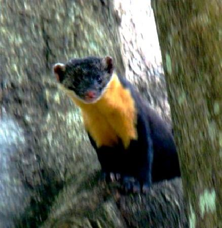 Periyar Wildlife Sanctuary: Nilgiri Marten at Periyar Tiger Reserve