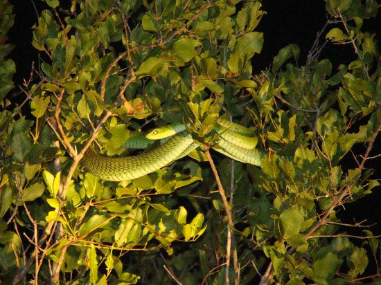 Lukimbi Safari Lodge: Boomslang - the rangers spotted even the smallest animals on our night drives
