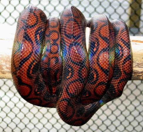 The Maryland Zoo: Rio, a Brazilian rainbow boa and Animal Ambassador for the Zoo