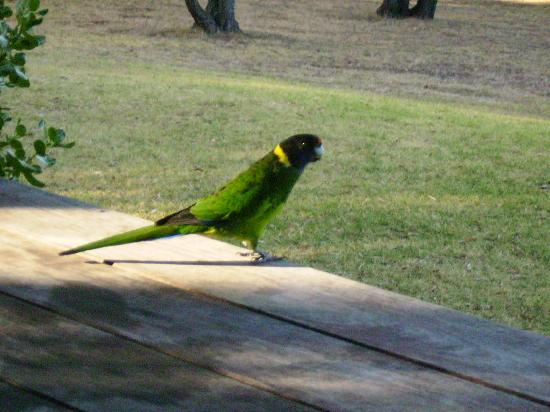 Waterfall Cottages: Ring-necked Parrot outside the cottage